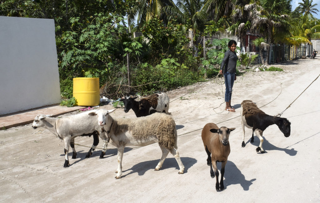 Exploring the streets of El Cuyo, here are 5 goats and owners out for a morning walk