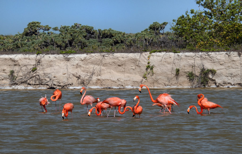 A gathering of 13 brilliant pink flamingos in the Ría Lagartos Biosphere